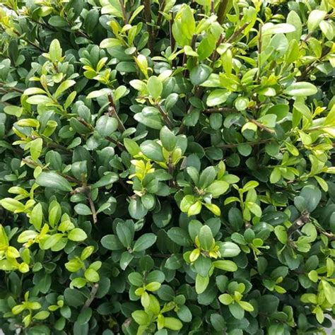Ilex Green by Japanse Hulst Green 174