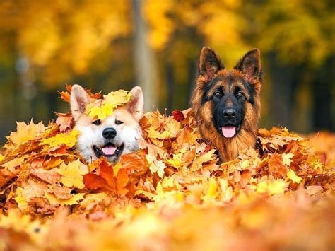 Fall Backgrounds Dogs by Dogs In Pile Of Autumn Leaves Wallpaper And Background