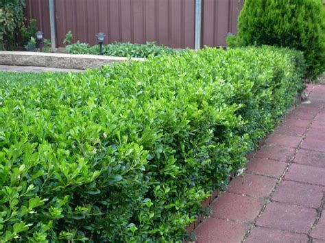 hedge bushes 20 korean buxus box plants flowers shrubs hedge pots ebay