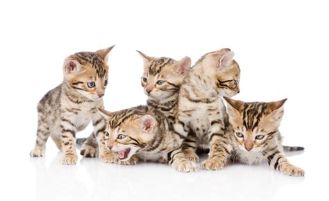 51+ Most Popular Male & Female Bengal Cat Names 2017