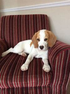 White Beagle Pictures to Pin on Pinterest - PinsDaddy