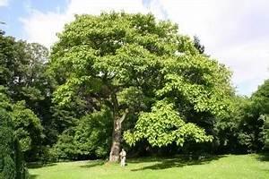 Arbres A Pousse Tres Rapide : la feuille charbinoise le paulownia arbre imp rial ~ Premium-room.com Idées de Décoration