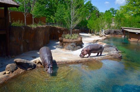 acre zoo exhibit rehomes hippos