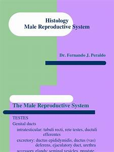 Histology Male Reproductive System