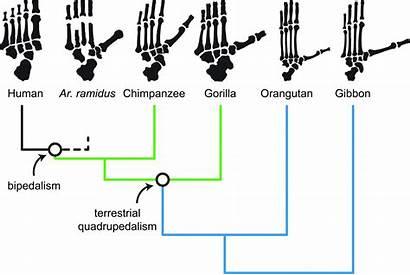 Human Ancestors Were Ancestor Tree Humans Evolutionary