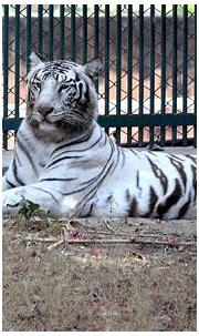 White tiger | Wildlife photography, White tiger, Wildlife