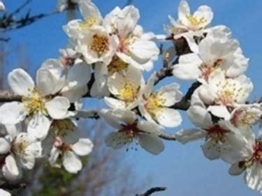 mandorlo da fiore fiori mandorlo fiori di piante mandorlo fiori