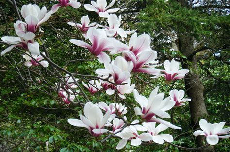facts about magnolia trees magnolia tree facts
