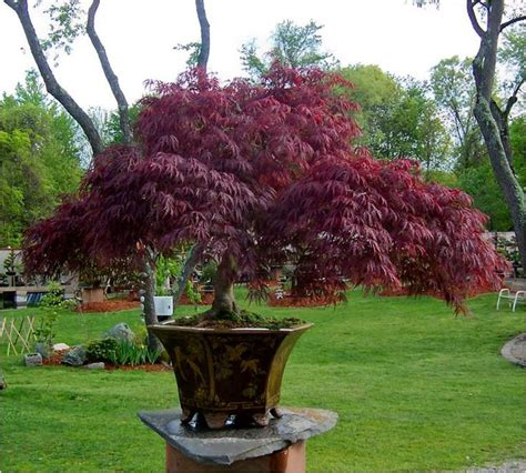 potted japanese maple nature
