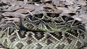 Interacting With An Eastern Diamondback Rattlesnake