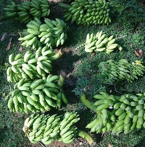 Banana Farming  Planting  Care  Harvesting Guide