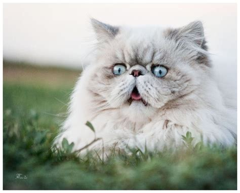 cat name best persian cat names cattime