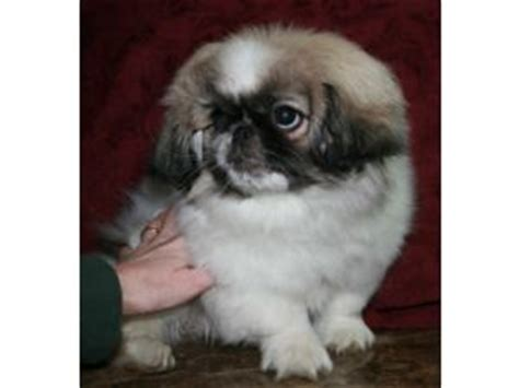 pekingese puppies  indiana