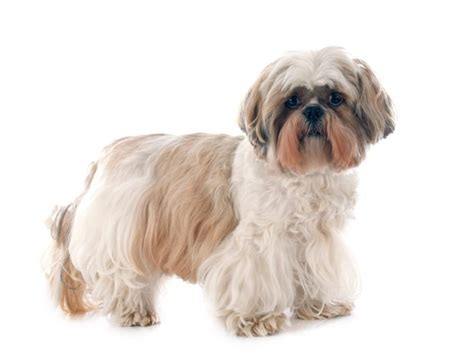 Top 10 Cutest Non Shedding Dogs by Non Shedding Breeds Family Breeds Types Of Breeds