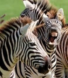 zebras images zebras high school animals