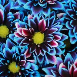 bulk baby s breath psychedelic flower blue