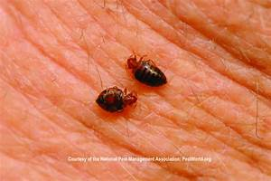 Bed bugs feeding on human skin Courtesy of the National