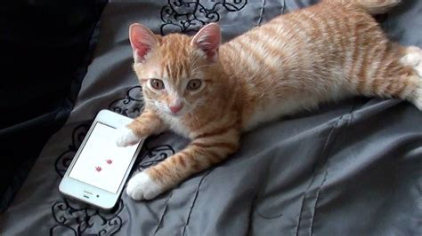 cat iphone kitten on iphone cat app