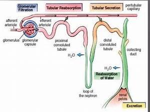Osmoregulatory Functions Of Vertebrate Kidney