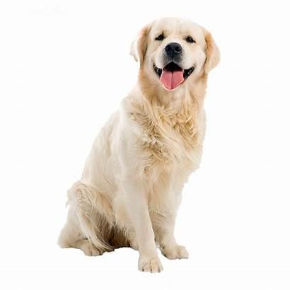 Retriever Golden Dog Dogs Puppy Transparent Dier