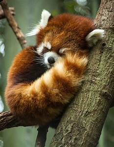 Sleepy red panda fluff ball | Sleepyheads | Pinterest ...