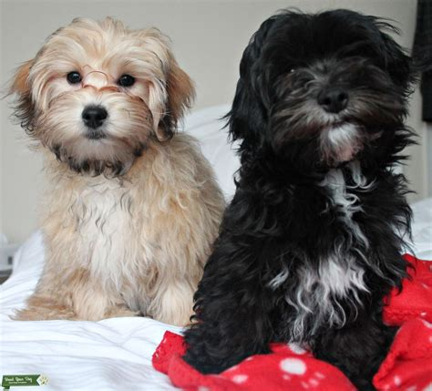 stud dog  maltipoo male dogs  years  breed