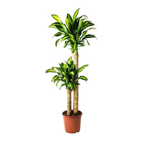 ikea vasi piante dracaena massangeana pianta da vaso ikea