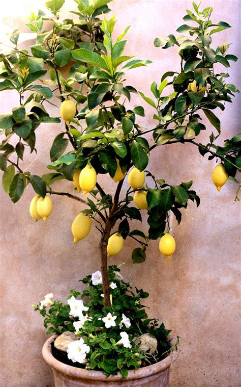 peinture cuisine jaune citronnier planter et entretenir ooreka