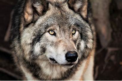 Wolf Grey 4k Wallpapers Face Animal Ultra