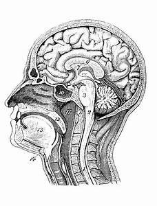 Best Label The Brain Anatomy Diagram Illustrations