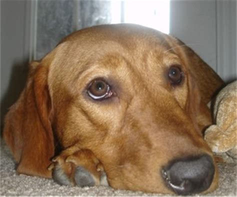 redbone coonhound photos pictures redbone coonhounds page