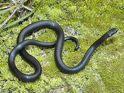 png snakes loria forest snake toxicocalamus loriae