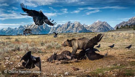 wild west stand  charlie hamilton james mammals