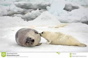 Harp Seal Cow And Newborn Pup On Ice Royalty Free Stock ...