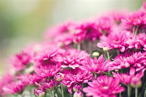 chrysanthemum hd wallpapers