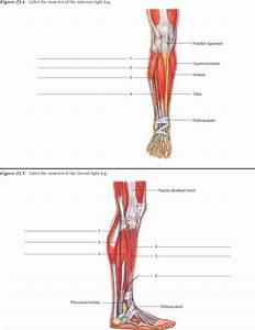Labeling Leg Muscles - Human Anatomy