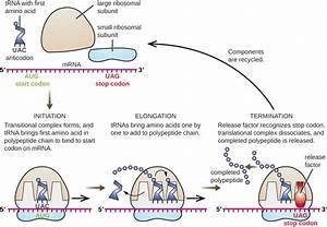 Prokaryotic Translation