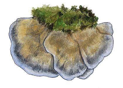 zilganā mīkstpiepe - Oligoporus caesius (Schrad.: Fr.) Gilb. et Ryvarden - Sēnes - Latvijas daba