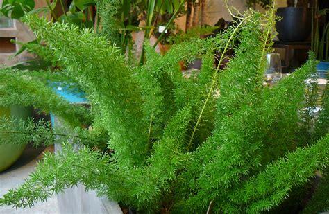 asparagus fern the palm room