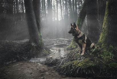 Shepherd German Forest Dog Animals Pastor Wallpapers