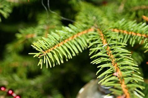 Kiefer Fichte Unterschied by How To Tell The Difference Between Fir Spruce Or Pine