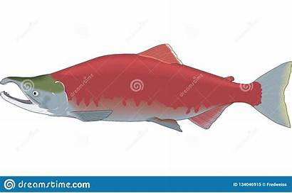 Salmon Illustration Sockeye Vector Water