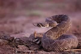 boa snakes yikes snakes western diamondback diamondback rattlesnake      Western Diamondback Rattlesnake Striking