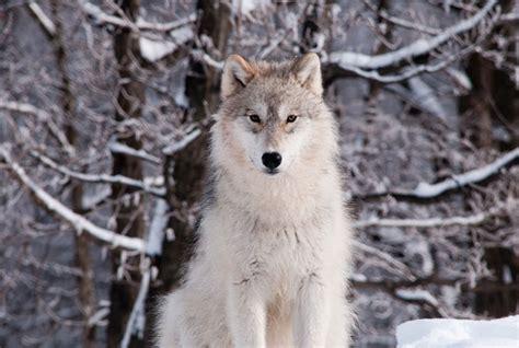 le loupe de bureau loup gris parc oméga