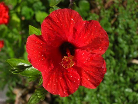 big red spanish flower  ben slawson redbubble