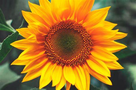 flores bonitas girasoles imagenes  fotos