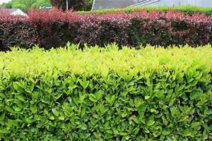 Haie Pas Cher Qui Pousse Vite : arbustes croissance rapide place des jardins le blog ~ Premium-room.com Idées de Décoration