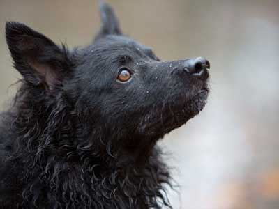croatian sheepdog information characteristics facts names
