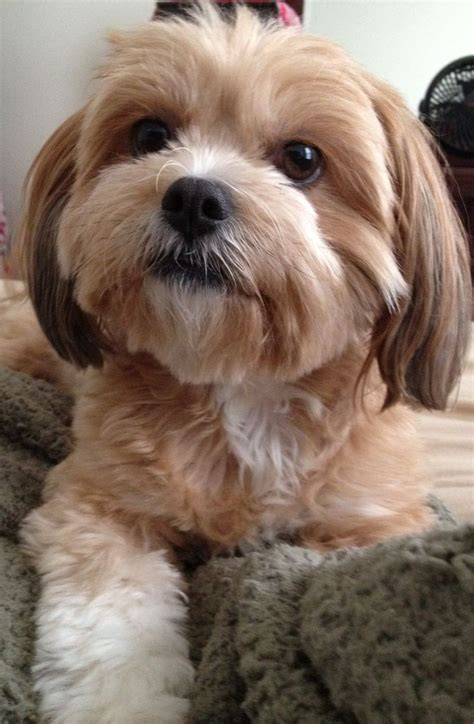shih tzu mix ideas  pinterest shih tzu dog