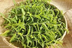 Verveine Plante Tisane : cultiver de la verveine officinale ~ Mglfilm.com Idées de Décoration